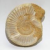 アンモナイト(ペリスフィンクテス) 約51g