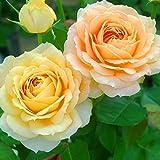 バラ苗 キャラメルアンティーク 国産新苗4号ポリ鉢 ハイブリッドティー(HT)四季咲き大輪 オレンジ系