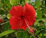 ハイビスカス 苗木 ブッソウゲ Hibiscus rosa-sinensis 3号ポット