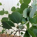 ユーカリ:ポリアンセモス(ポポラス)8号鉢植え 切り花に向く ハートリーフユーカリ シルバーダラーガム