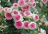 バラ苗 つるミミエデン 大苗 つるバラ 【京成バラ】 ピンク 薔薇 バラ苗木 【京成バラ】