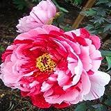 家庭菜園のための10pcs /袋混合色の牡丹の植物の花Plantas 牡丹の花の苗盆栽植物:ブルゴーニュ