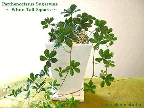 送料無料 シュガーバイン 観葉植物 シュガーパイン 鉢植え インテリア 北欧 ギフト お祝い おしゃれ ホワイトトールポット
