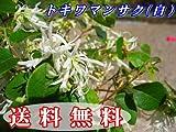 トキワマンサク H1.2m前後 青葉・白花 10本セット!花が咲き乱れる生垣に常盤満作