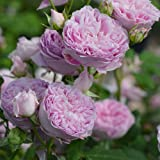バラ苗 ホーラ 国産大苗オリジナル角鉢6号 四季咲き中輪 ピンク系 ロサ オリエンティス