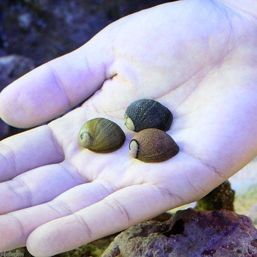 (海水魚 貝 無脊椎) 海洋性カノコガイ Mサイズ コケの掃除(15匹) 本州・四国限定[生体]