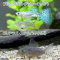 charm(チャーム) (熱帯魚 水草)ブルーグラスグッピー(国産グッピー)(1ペア)+コリドラス・ステルバイ(1匹) 【生体】