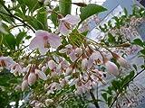 エゴノキ ピンクチャイム (赤花) 根巻き苗 庭木