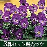 ビオラ ビビ ラベンダーアンティーク 10.5cmサイズ大ポット 3ポットセット パンジー ビオラ すみれ 苗 寄せ植え