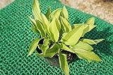 ホスタ ムーンライト(斑入り ギボウシ) 日陰やワンポイントの植栽に最適♪