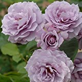 バラ苗 ノヴァーリス 国産大苗6号スリット鉢 フロリバンダ(FL) 四季咲き中輪 紫系