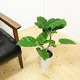 ウンベラータ ゴムの木 6号鉢 鉢植え 観葉植物 インテリア 中型