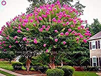 種子パッケージ: 4:100個クレープ - Lagerstria「ナチェズ」花の種子コートヤードツリーの種子家庭の植物4