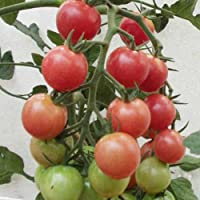 [インパクト秋植え野菜]トマト:秋トマト3号ポット4株セット[秋どり用・人気!] ノーブランド品