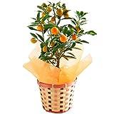 金柑鉢植え(実付き果樹)