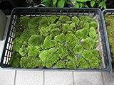 山苔 お買い得   1トレー サイズ の 山苔    人気の山コケです。  とても 良質の 苔です