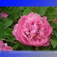 種子パッケージ: BELLFARM盆栽家宝'香港ホイ'赤い牡丹の花低木強い香りのフラワーハイ発芽-5pcs /パック