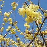 ロウバイ:素心(ソシン)ロウバイ6号ポット[春の訪れを告げる早春花木。甘い香りが漂います]
