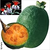 国華園 果樹苗 フェイジョア マンモス 1株