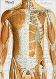 解剖学ジグソーパズル 体幹の筋