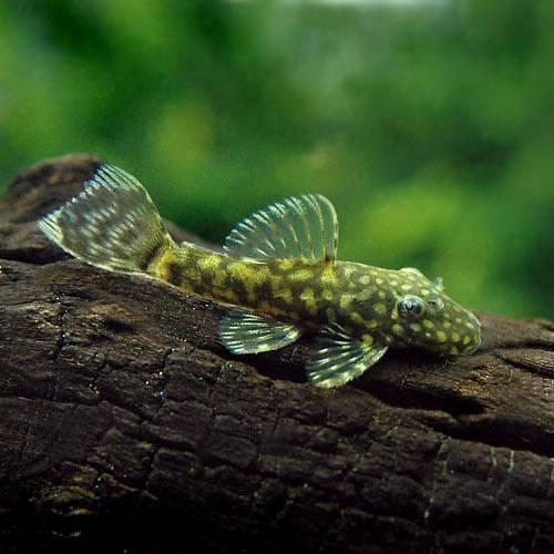 (熱帯魚) ミニブッシープレコ(4匹) 本州・四国限定[生体]