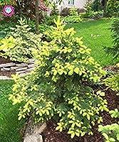 50PCS珍しい植物ブルースプルース種子スプルースツリーポット多年生の樹種子庭盆栽家の装飾