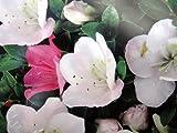サツキツツジ 【 一生の春 】 さつき 苗 4号 ポット サツキ 庭木 常緑樹 グランドカバー 低木