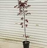 赤い葉のモミジの代表種!庭木:野村もみじ (猩々野村) 樹高:約100cm 全高:約120cm