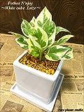 ポトス・エンジョイ / ホワイトキューブポット / Pothos N'joy / White Cube Pot / イテリア観葉植物/鉢植え