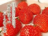 静岡産紅ほっぺ特大いちご 12or15粒入