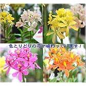 春の鉢植え 華やかな洋蘭ギフト【生花】エピデンドラム ミックス陶器鉢植え 誕生日などのお祝いプレゼントに