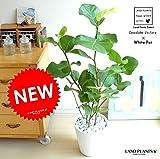 LAND PLANTS シーグレープ 白セラアート鉢