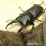 (昆虫)国産コクワガタ 成虫 サイズフリー(1ペア) 本州・四国限定[生体]