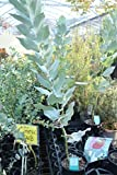 観葉植物 ユーカリマクロカーバ 4.5寸苗 送料込価格