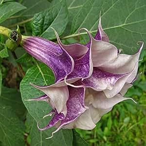 パック50個パープルチョウセンアサガオの種子バルコニーの植物花鉢植え盆栽種子ガーデングリーンハーブ曼荼羅の花の種