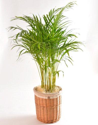 アレカヤシ 7号鉢 ナチュラルバスケット 観葉植物 インテリア グリーン