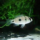 アノマロクロミス トーマシー(約3cm)<5匹>[生体]