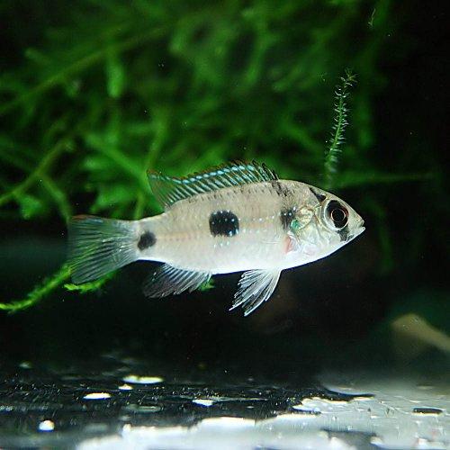 (熱帯魚)アノマロクロミス トーマシー(約3cm)<5匹>[生体]