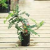 植木・観葉植物:ソフォラ・サンキング*3号