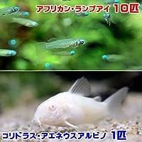 charm(チャーム) (熱帯魚) アフリカン・ランプアイ(10匹) + コリドラス・アエネウス アルビノ(1匹) 【生体】