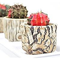 (株)赤塚植物園 ① ペッタムシィー(Petchtamsee)農場のギムノカリキウム 陶器鉢仕様