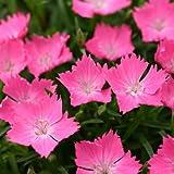 ナデシコ:[ダイアンサスカーペット]花はなライトサーモン3号ポット3株セット ノーブランド品