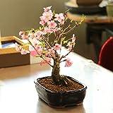 早咲きのひときわ目立つ桃色小花!桜盆栽:特選河津桜(かわつざくら)*