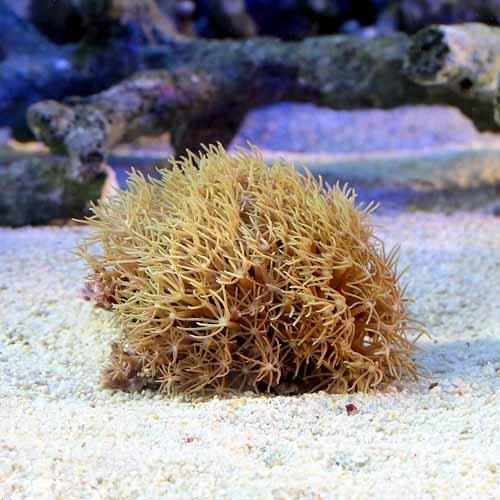 (海水魚 サンゴ)沖縄産 スターポリプsp. グリーン Sサイズ(1個) 本州・四国限定[生体]