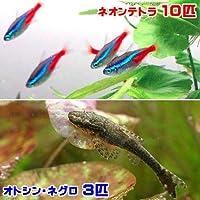 charm(チャーム) (熱帯魚)ネオンテトラ(10匹) + オトシン・ネグロ(3匹) 【生体】