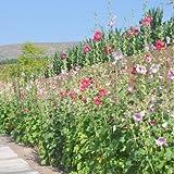 Best Rhodiolas - 11:20Pcs / Lot Rhodiola Hollyhockの花の種、Diyの装飾的な庭、Diyの家の庭を育てること容易 Review