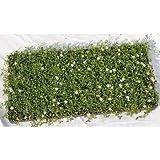 ヒメイワダレソウ(姫岩垂草 マット) 緑の絨毯 薄桃色花 植木 苗木 常緑低木