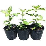 ガパオ苗 ホーリーバジルの苗 3個セット 自家栽培 完全無農薬 タイ野菜