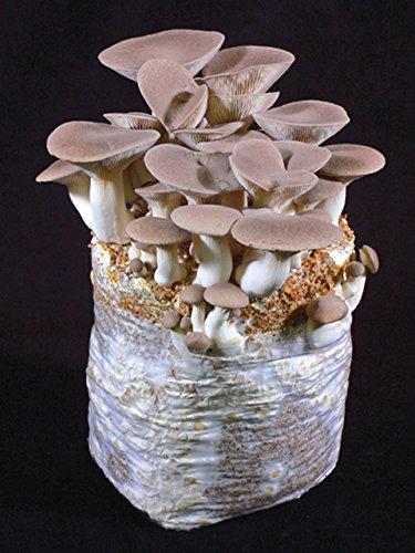 マッシュルームファーム/mushroom farm エリンギ農園 【キノコ栽培セット/えりんぎ/きのこ/茸】
