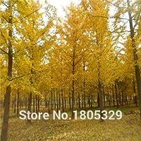 6:盆栽イチョウ種子20ピース多色花種子小説植物用diyガーデン